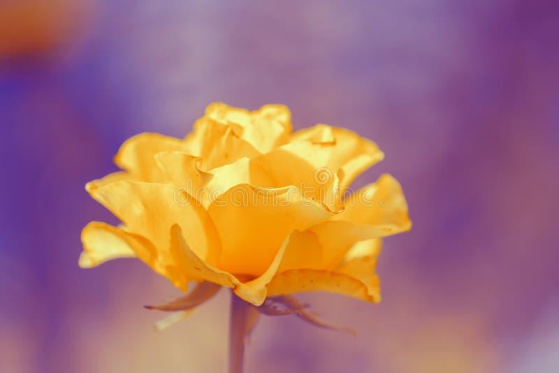 Lyxgulingros på en purpurfärgad bakgrund blomstra closeup detailed rose struktur för blomma Steg på öppet utrymme arkivfoton