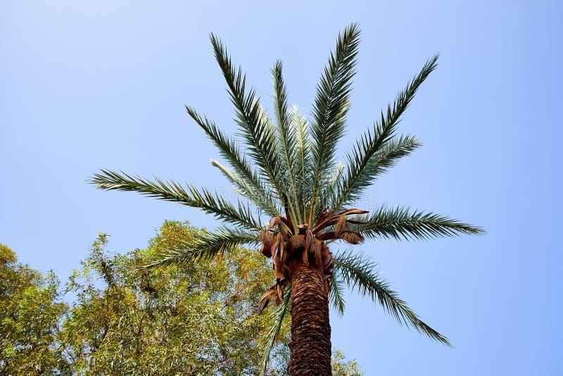 Lyxig krona av palmträdet mot den ljusa blåa himlen arkivfoton