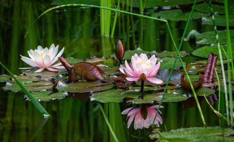 Mágica da natureza com os lírios de água ou as flores de lótus cor-de-rosa Marliacea Rosea Nympheas é refletido na água escura da fotos de stock royalty free