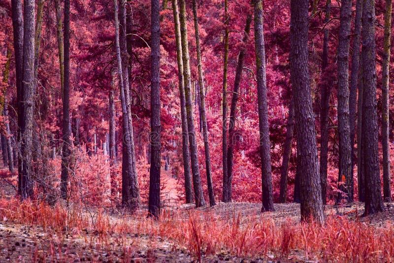 A mágica da natureza do outono é uma floresta fantástica brilhantemente colorida do pinho fotografia de stock