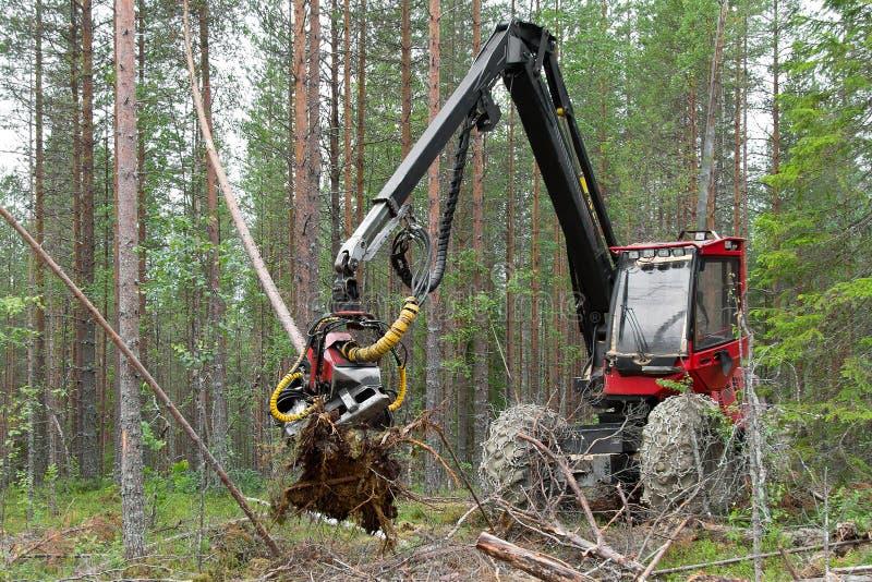 Máquina da ceifeira que trabalha em uma floresta, abatendo árvores novas foto de stock