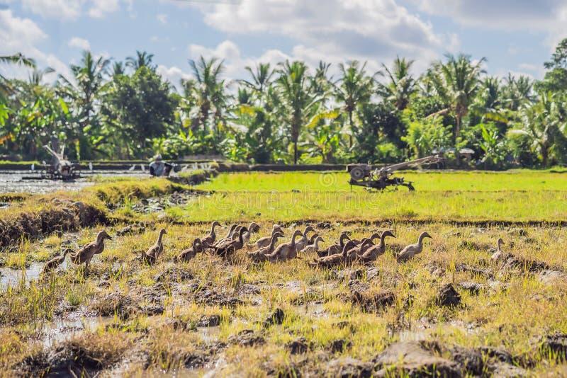 Máquina de las paletas - motocultor con la granja verde del arroz en el día soleado fotografía de archivo
