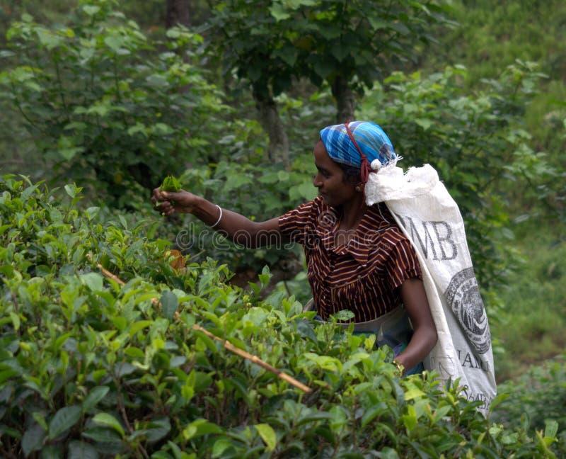 Máquina desbastadora do chá do Tamil em Sri Lanka foto de stock royalty free