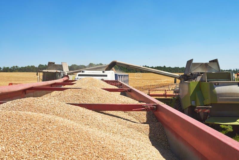 Máquina segadora en la acción en campo de trigo La cosecha es el proceso de recolectar una cosecha madura de los campos foto de archivo