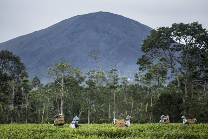Máquinas desbastadoras indonésias do chá foto de stock royalty free