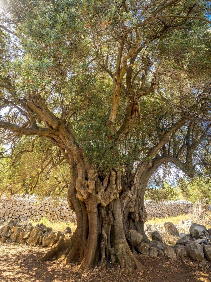 Más de 2000 olivos salvajes de los años foto de archivo