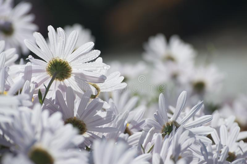 Máximo del crisantemo foto de archivo
