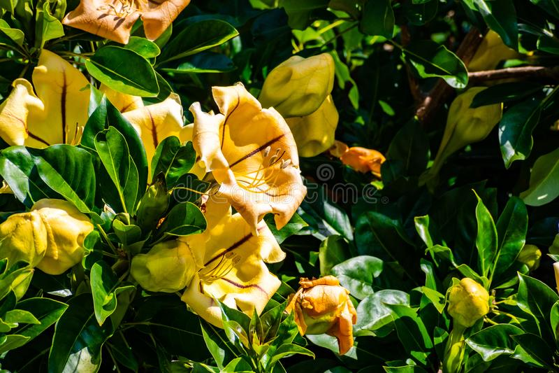 Máximos do Solandra, igualmente conhecidos como o copo da videira do ouro, da videira de cálice dourada, ou do lírio havaiano, pa fotos de stock royalty free