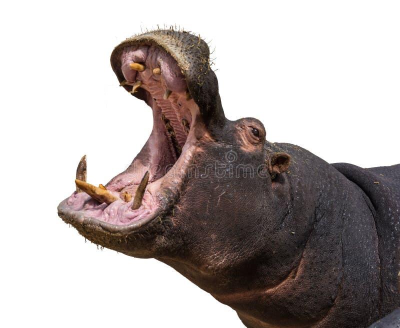 Mâchoires d'ouverture d'hippopotame Plan rapproché principal Fond blanc photo libre de droits