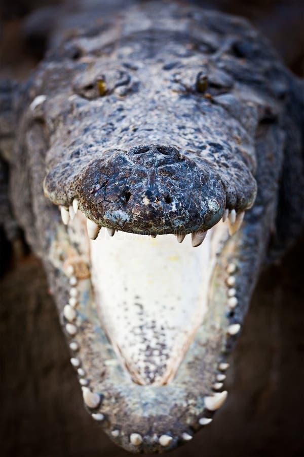 Mâchoires de remplissage de crocodile image libre de droits