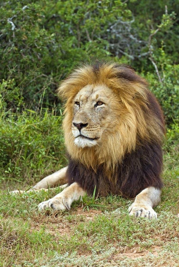 mâle africain de lion photographie stock