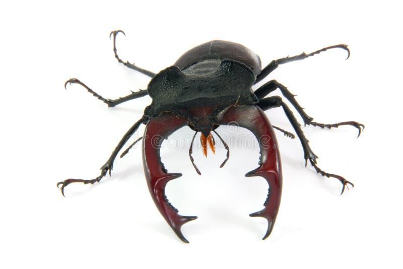 Mâle-coléoptère mâle image stock