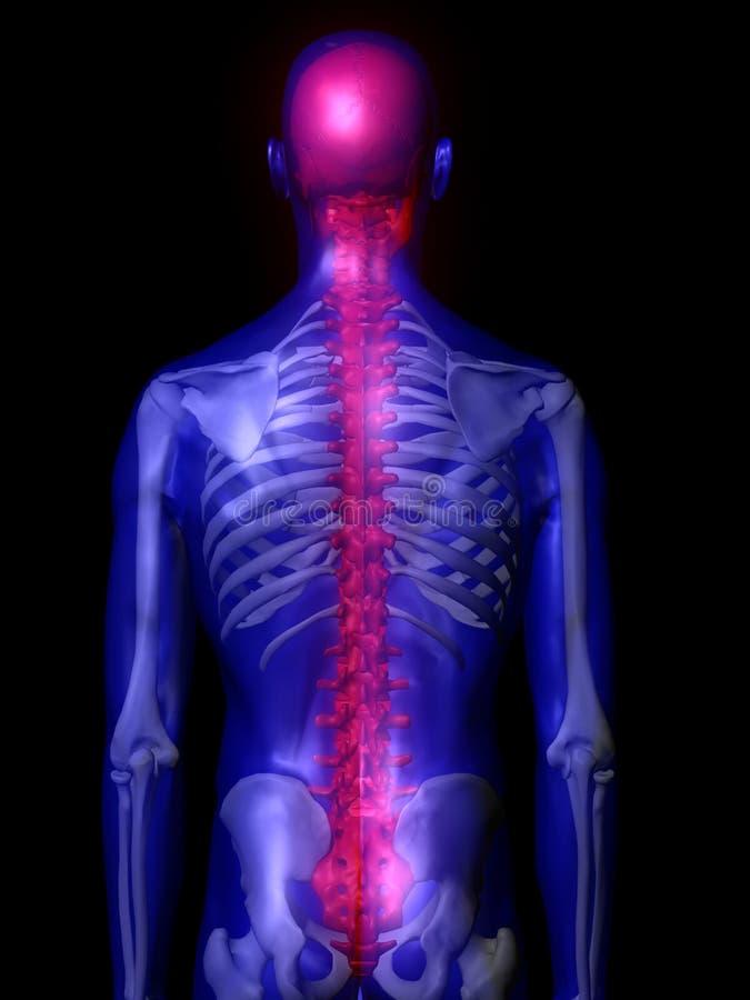 mâle d'illustration d'épine dorsale illustration stock
