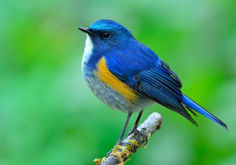Mâle de Bluetail de l'Himalaya (rufilatus de tarsiger) le beau bl image libre de droits