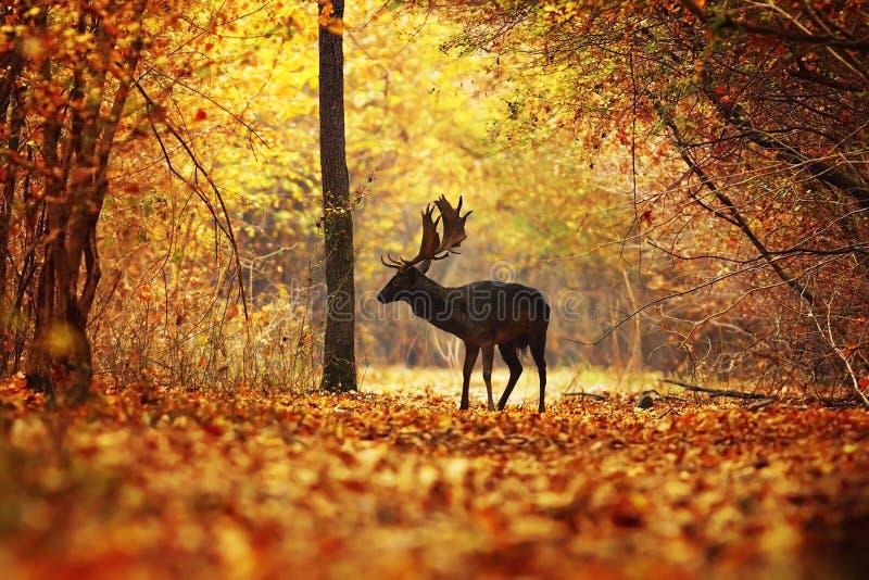 Mâle de cerfs communs dans la forêt colorée d'automne image libre de droits