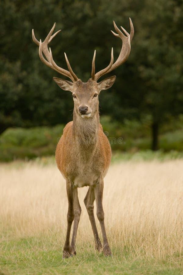 Mâle de cerfs communs frontal images stock