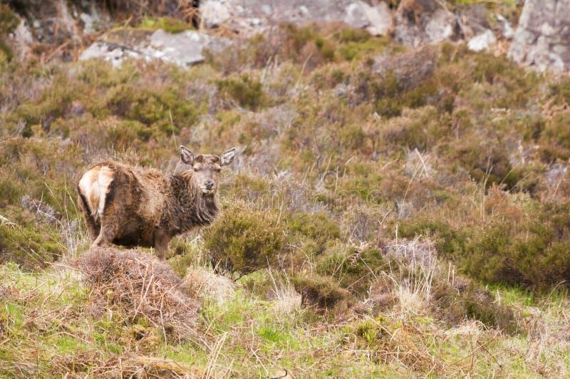 Mâle de cerfs communs rouges photographie stock