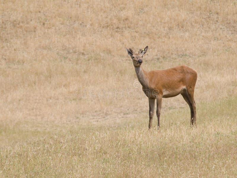 Mâle de cerfs communs rouges image libre de droits