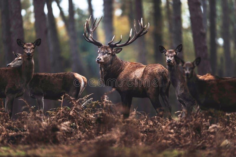 Mâle de cerfs communs rouges avec des hinds dans le nord le Rhin-Westphali de forêt d'automne image stock