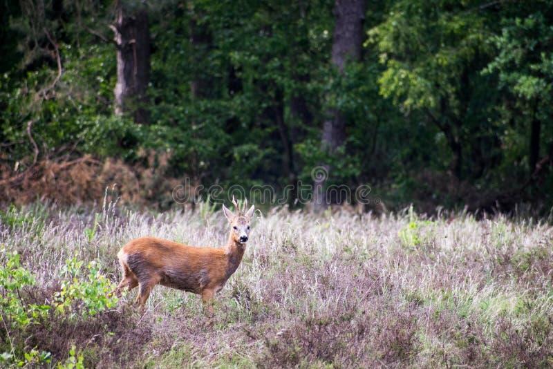 Mâle de cerfs communs se tenant dans un domaine de bruyère près du bord de forêt Regard vers l'appareil-photo Petit mâle photographie stock