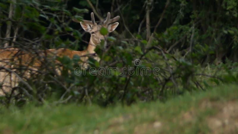 Mâle de cerfs communs un jeune mâle gardant la garde photo libre de droits
