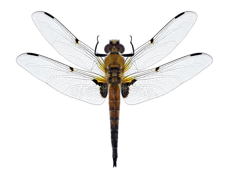 Mâle de chasseur quatre-repéré par quadrimaculata de Libellula de libellule images stock
