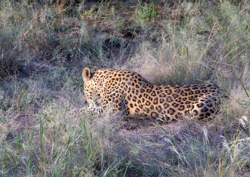 Mâle de léopard à une ferme chez la Namibie images stock