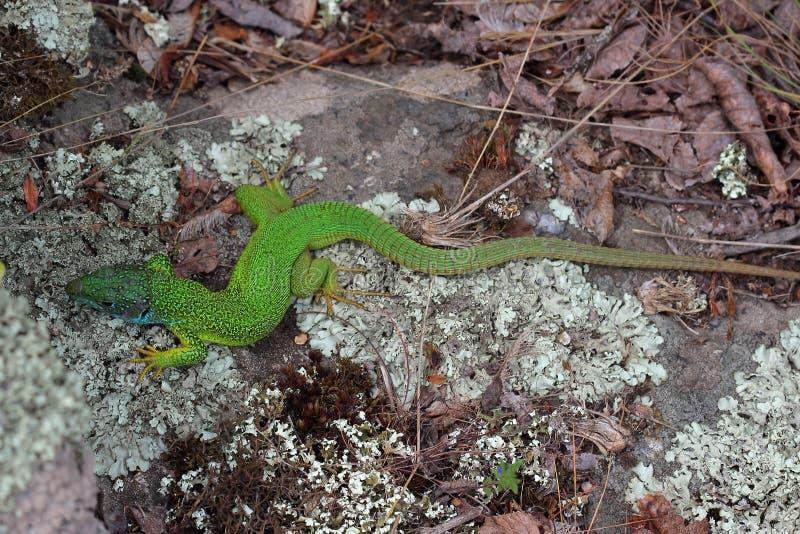Mâle de lézard vert européen (viridis de Lacerta) image libre de droits