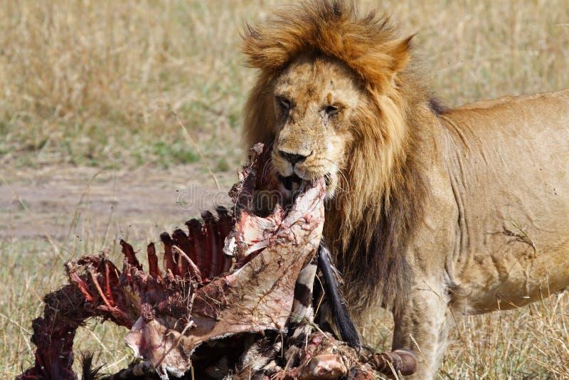 Mâle de lion avec la mise à mort de zèbre photos stock