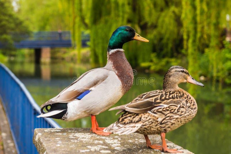 Mâle de Mallard et canard femelle photographie stock