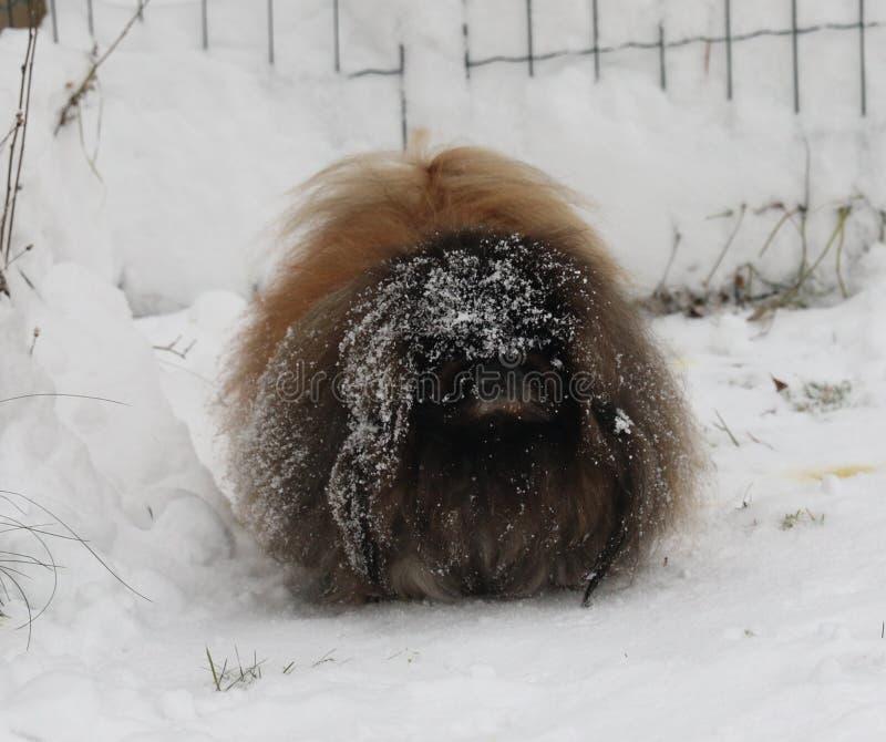 Mâle de pékinois sur la neige pendant l'hiver image stock