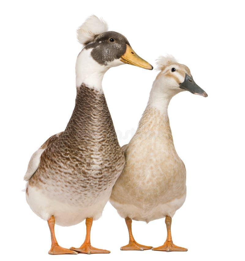 Mâle et canards crêtés femelles, 3 années photographie stock