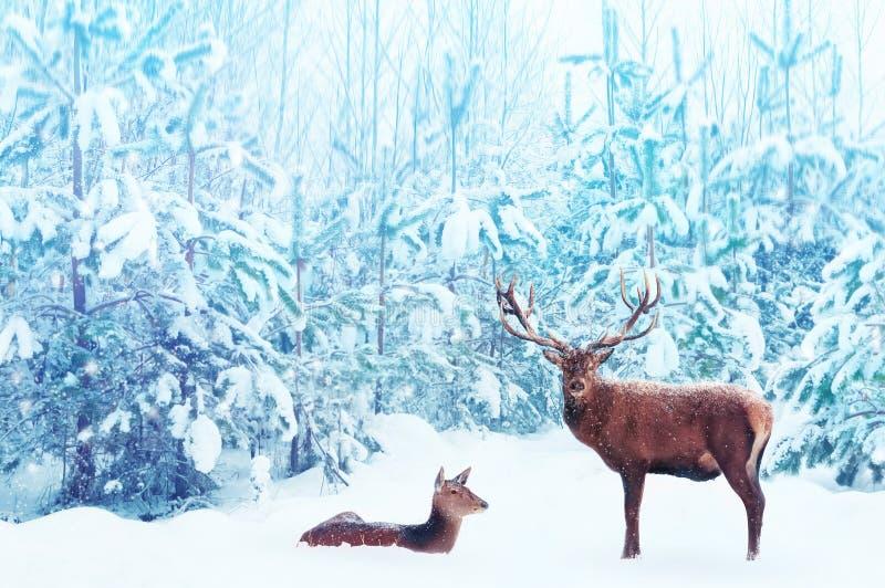 Mâle et femelle nobles de cerfs communs dans une image artistique d'imagination de Noël de forêt bleue neigeuse d'hiver dans la c images stock