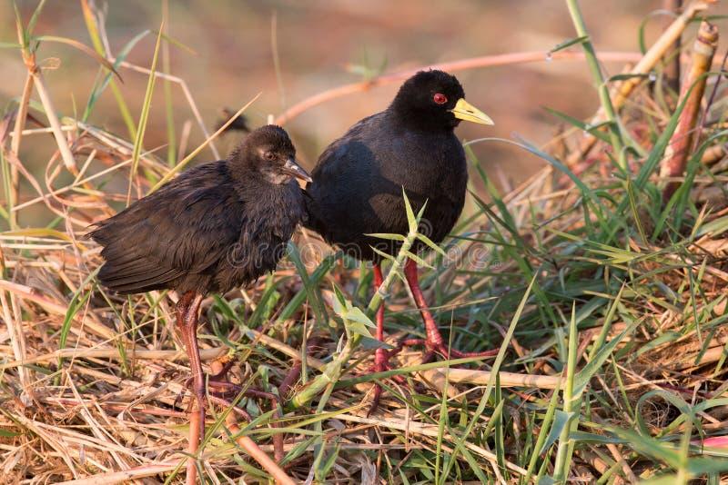 Mâle et huîtrier noir africain femelle images libres de droits
