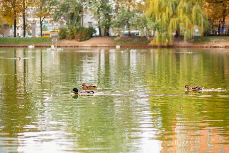 Mâle et natation femelle de canard de canard sur un étang avec de l'eau vert photos libres de droits