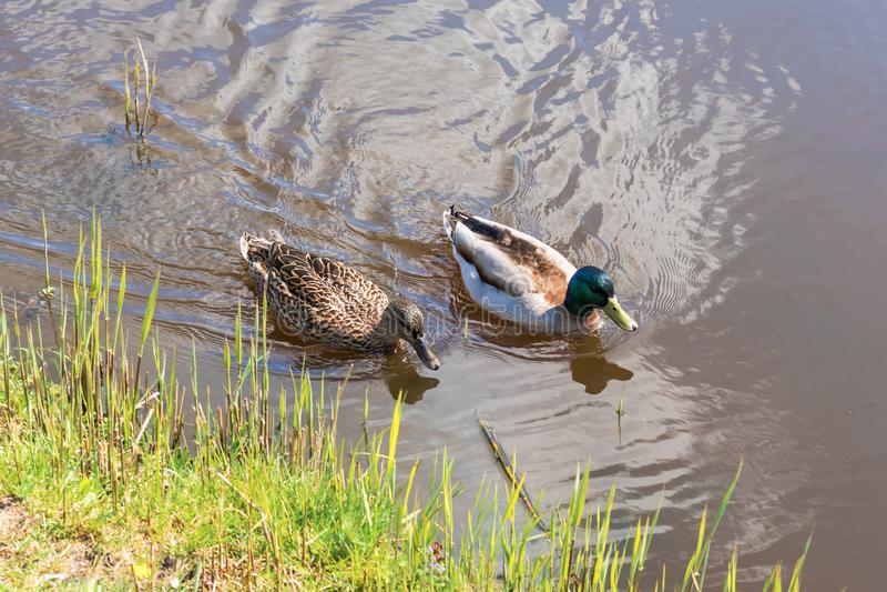 Mâle et natation femelle de canard de canard sur un étang tout en recherchant la nourriture images libres de droits