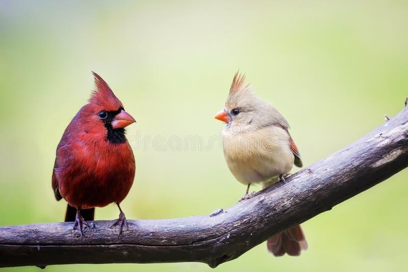 Mâle et oiseaux cardinaux femelles d'amour photographie stock libre de droits