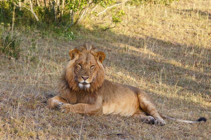 Mâle fatigué de lion regardant la caméra photo stock