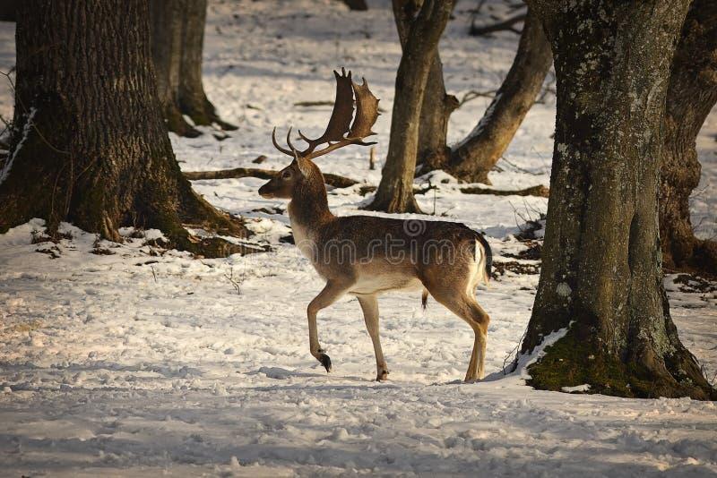Mâle fier de cerfs communs affrichés photos stock
