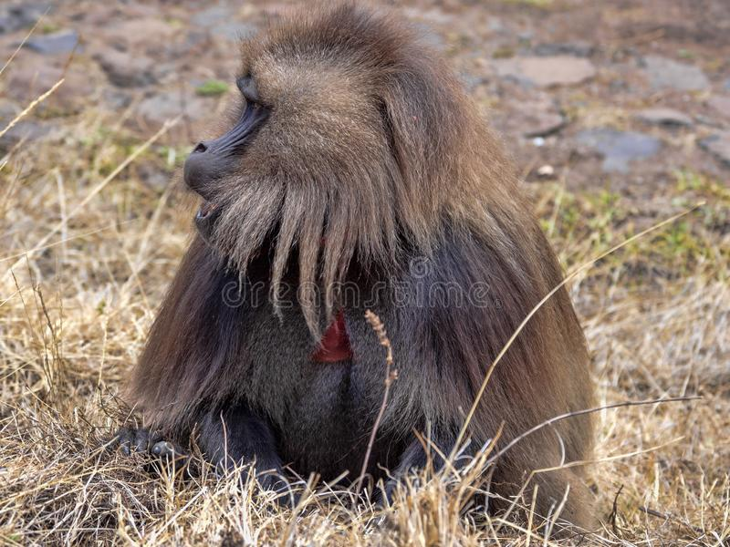 M?le Gelada, gelada de Theropithecus, en Siemen Mountain National Park, l'Ethiopie photographie stock