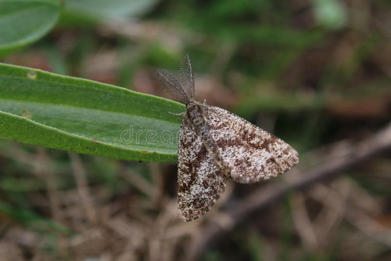 Mâle Heath Moth commun (atomaria d'Ematurga) images stock