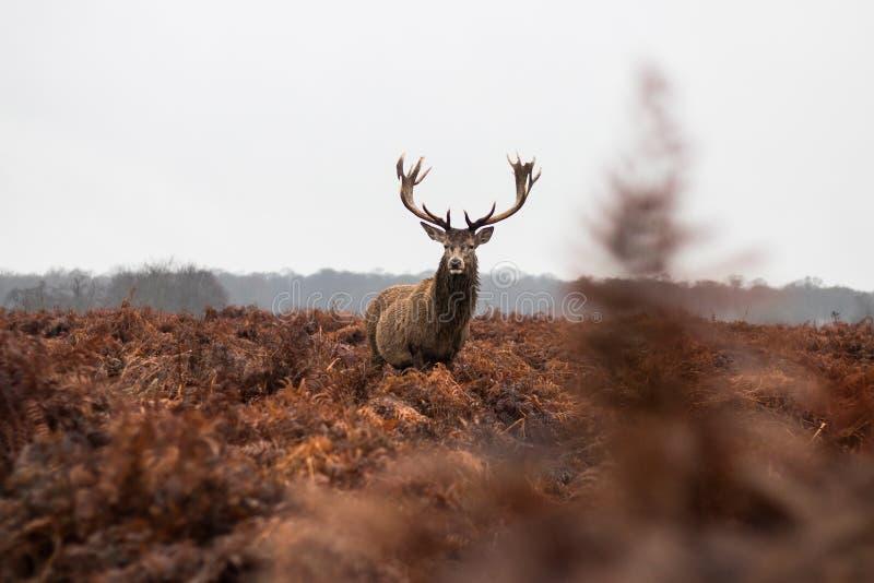 Mâle majestueux de cerfs communs se tenant fier dans la fougère rouge image stock