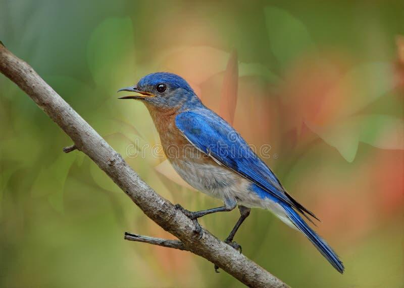 Mâle oriental d'oiseau bleu photo libre de droits