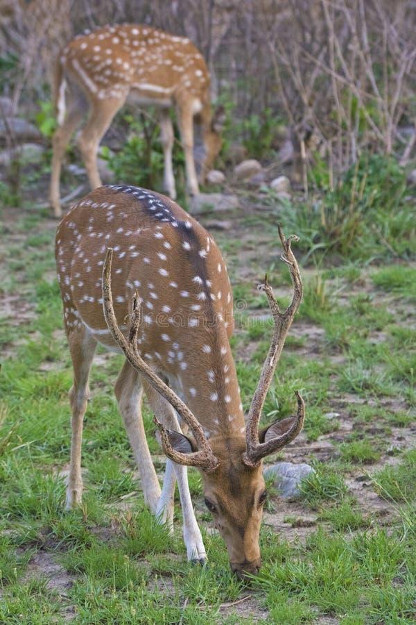 Mâle repéré de cerfs communs image libre de droits