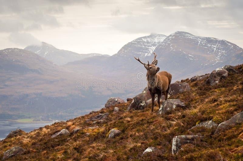 Mâle sauvage, montagnes écossaises photographie stock libre de droits