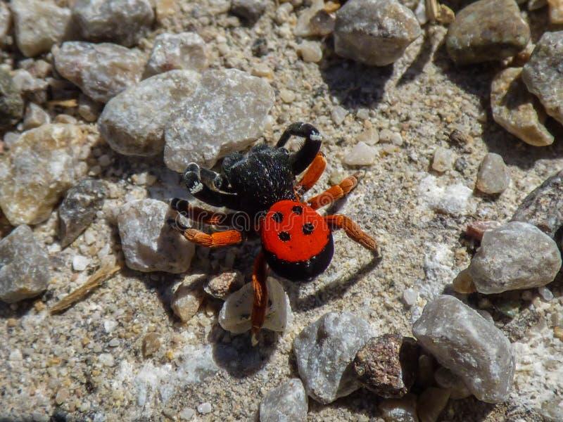 Mâle simple d'araignée de velours de genre Eresus image libre de droits