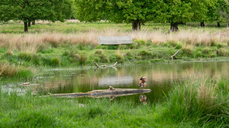 Mâle simple de canard de mandarine sur une ouverture un étang photos stock
