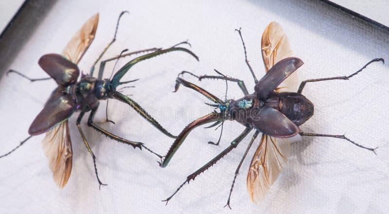 Mâles chiliens Grant de scarabée rare ou scarabée Chiasognathu de ` s de Darwin photo stock