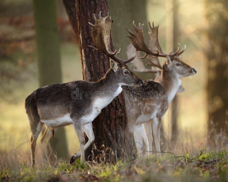 Mâles de cerfs communs affrichés en bois photos stock