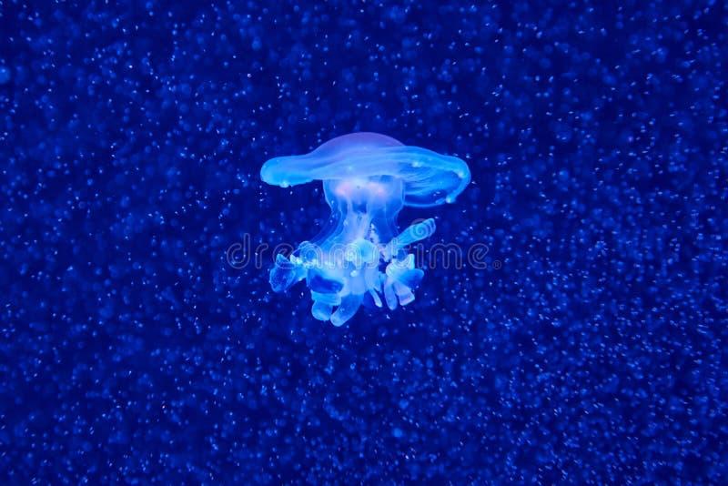 Méduses méditerranéennes latines tuberculata de Cotylorhiza d'†«dans un nuage de plancton photographie stock libre de droits